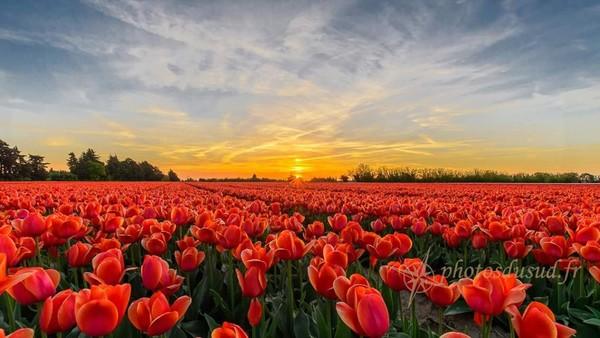 tulipe vaucluse